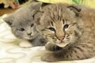 «Кормит, греет, вылизывает»: домашняя кошка воспитывает рысенка-отказника из зоопарка