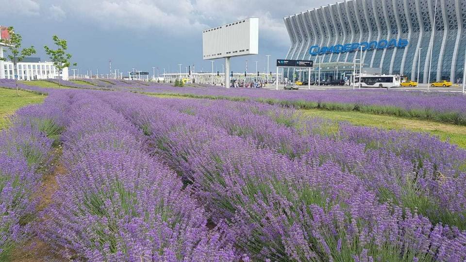 19 тысяч кустов выращивали на участке площадью 6 гектаров 2 года. Фото: пресс-служба Международного аэропорта Симферополь.