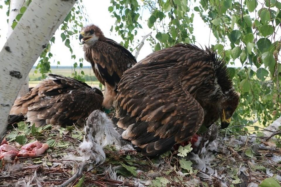 """Трех орлят """"подбросили"""" в три других гнезда. Фото Национального парка """"Нижняя Кама"""""""
