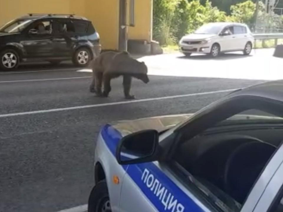 В Сочи вышедший на трассу медведь напугал гаишников и водителей. Фото: t.me/livesochi