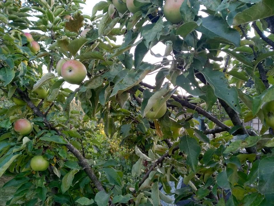 Студенты собирают яблоки, занимаются обвязкой деревьев, убирают поросль