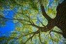 «Живые свидетели истории»: В Санкт-Петербурге создают эко-тропу по уникальным историческим деревьям