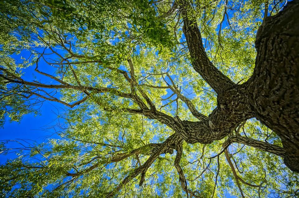 """Некоторые """"старожилы"""" растут со времен основания города Петром I. Фото: shutterstock.com."""