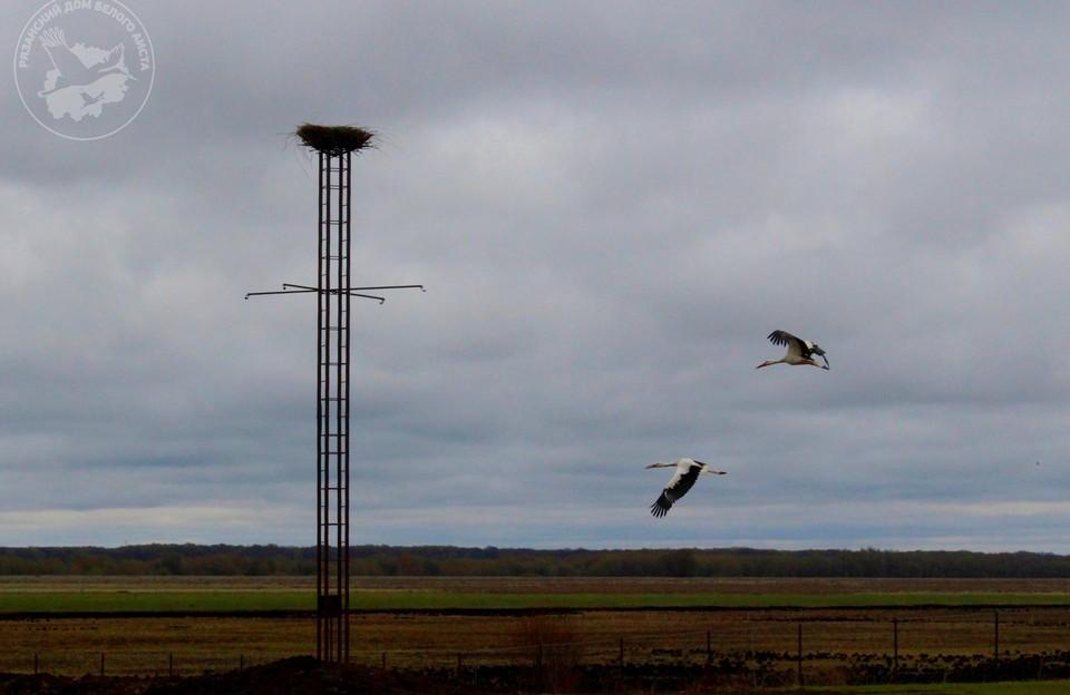 Сегодня на огороженных 3,5 гектарах аистиного дома находятся девять птиц разного возраста, в том числе один птенец, появившийся на свет у нелетной пары Русланы и Гоши.