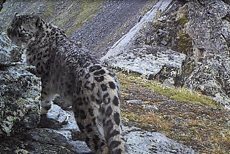 Брачную песню снежного барса записали на видео в Бурятии. Фото: стоп-кадр с видео на сайте Всемирного фонда дикой природы