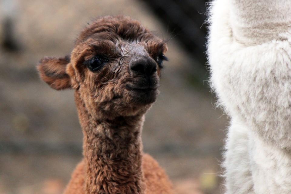 «МАЛЬЧИК-КРАСАВЧИК!»: Прибавление в семье альпак в зоопарке Лимпопо