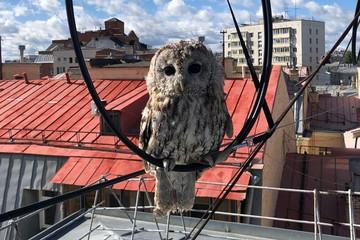 В центре Москвы спасли сову, которая запуталась в проводах