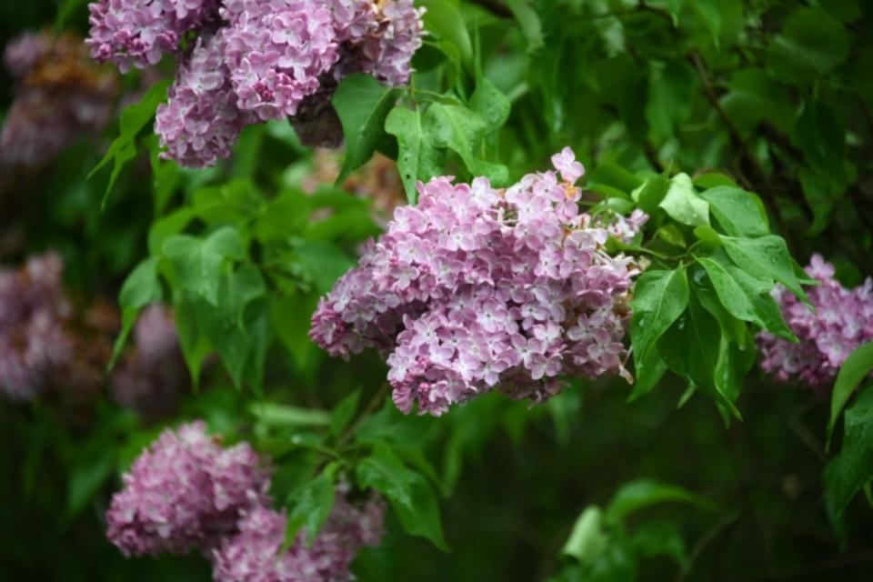 Кустарники снова источают приятный аромат.