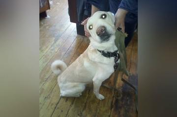 В Челябинской области спасли от усыпления собаку, несколько недель охранявшую умершего хозяина