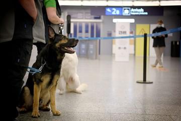 Аэропорты мира нанимают собак, которые вынюхивают коронавирус у пассажиров