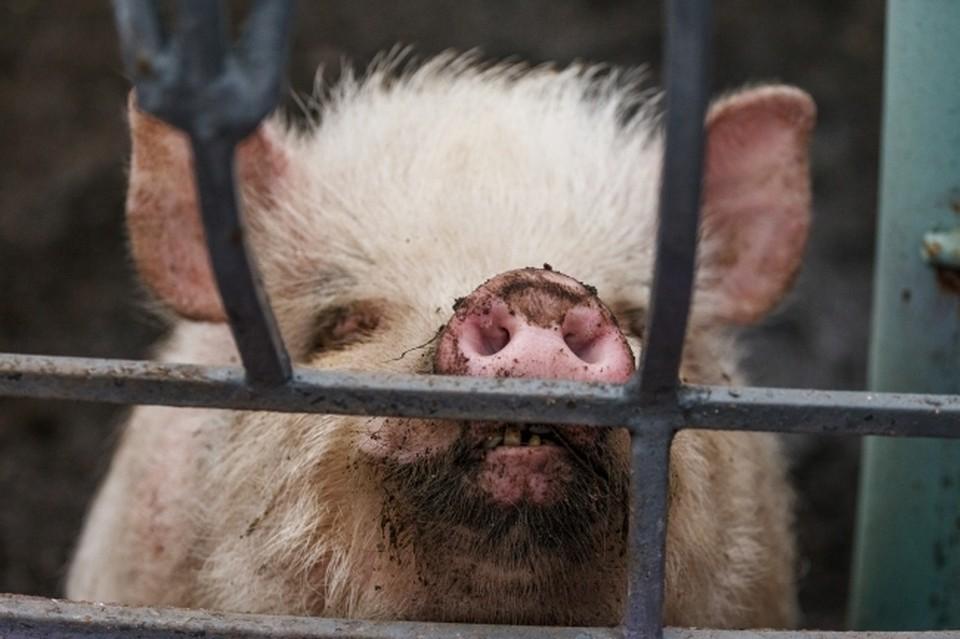 В Хабаровском крае ликвидируют очаги африканской чумы свиней