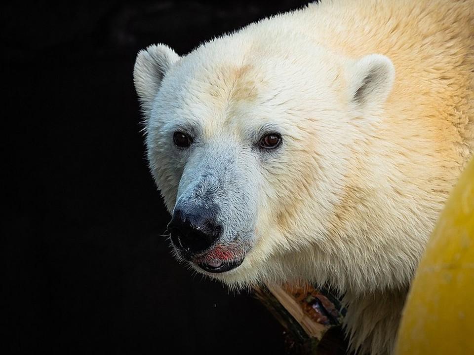 Белые медведи обычно не нападают на людей Фото: Роев ручей