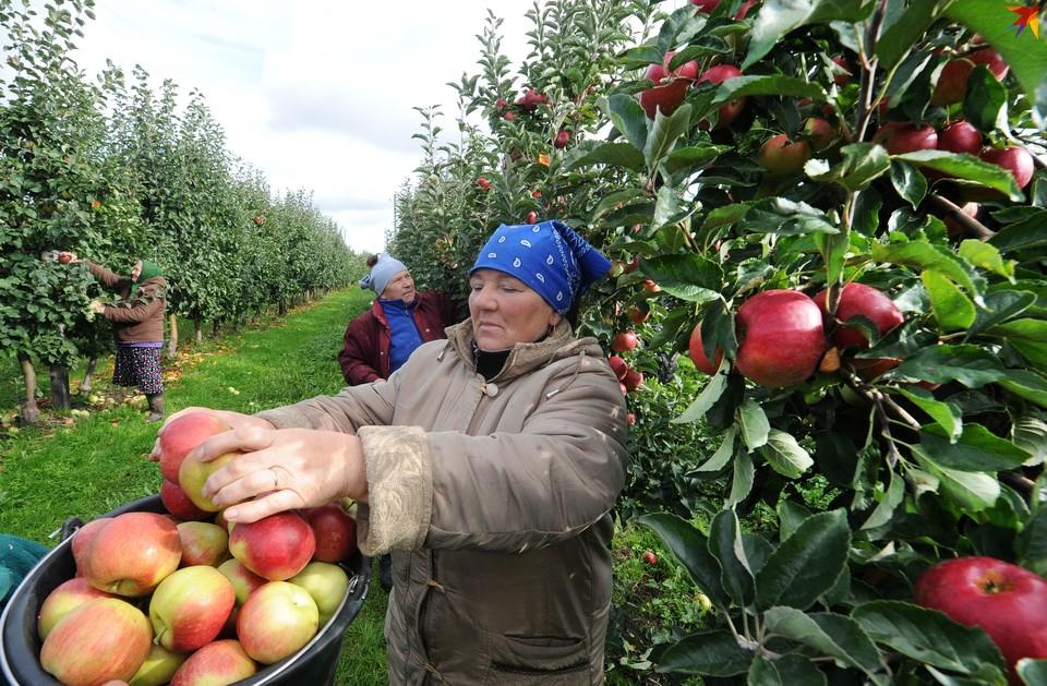 В Ольшанах сейчас собирают урожай поздних яблок и капусты.