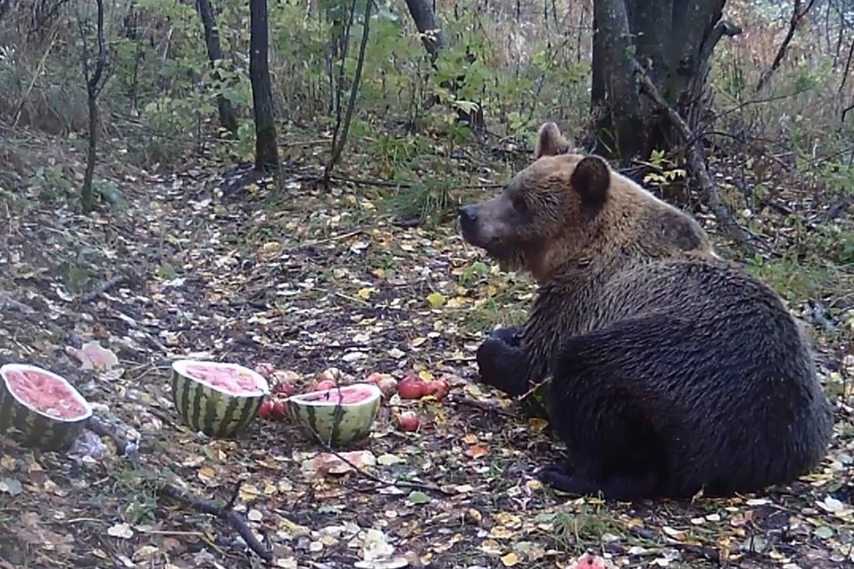 Арбузы и яблоки мишке пришлись по душе. Фото: Анатолий Осипов