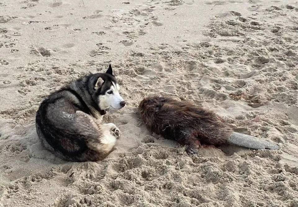 На этой фотографии хаски очень похожа на пропавшую год назад собаку Натальи Тамразовой.