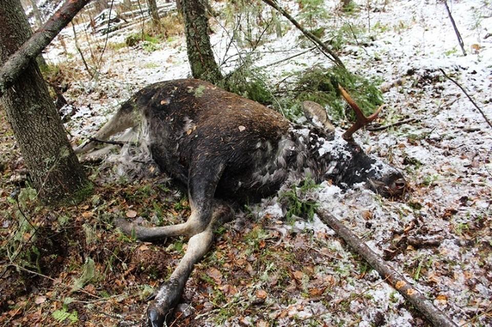 Лось погиб, попав в ловушку браконьера. Фото: ГУВД по Пермскому краю.