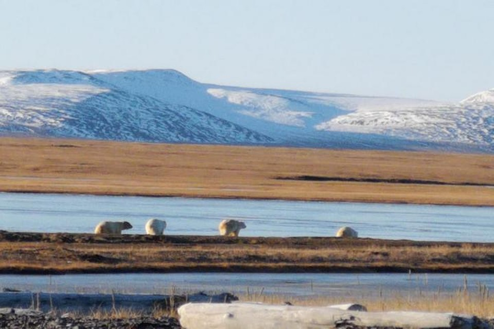Около 40 медведей пришли на запах выброшенной на берег туши кита. Фото: Татьяна Миненко/WWF России.