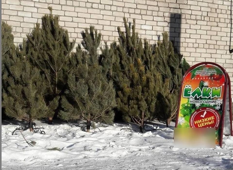 В продаже появились ели в кашпо. Фото: Благовещенский лесхоз