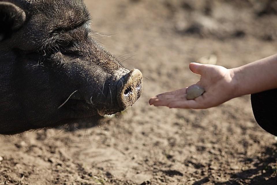 В Ульяновске побег свиней из воинской части приняли за нашествие диких кабанов