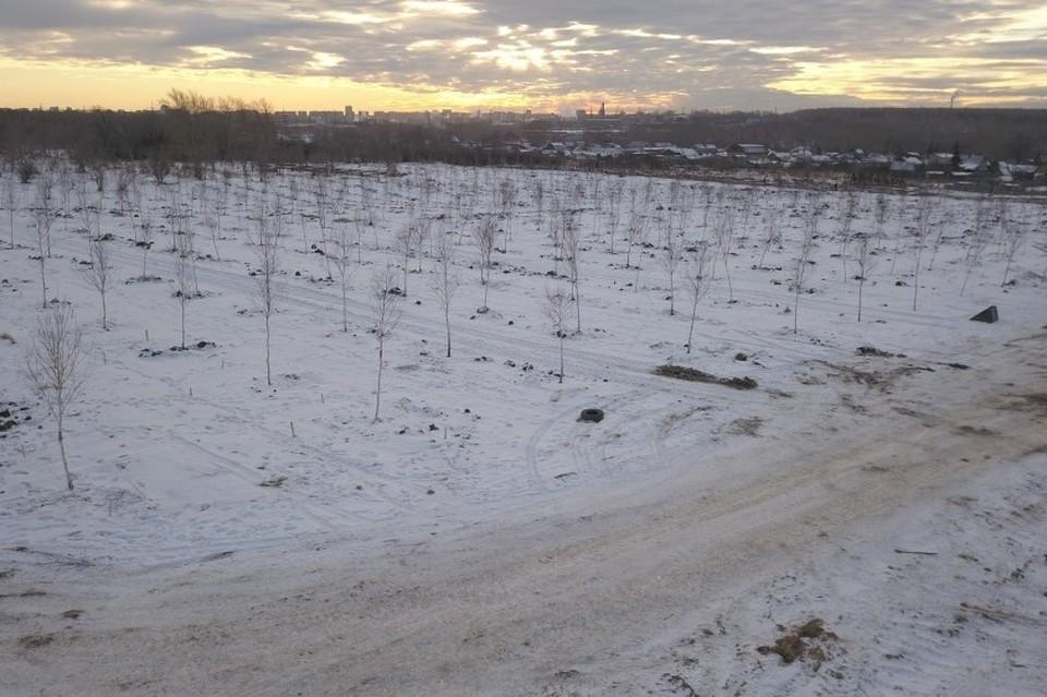 Среди саженцев есть березы, ели и сосны Фото: администрация Челябинска