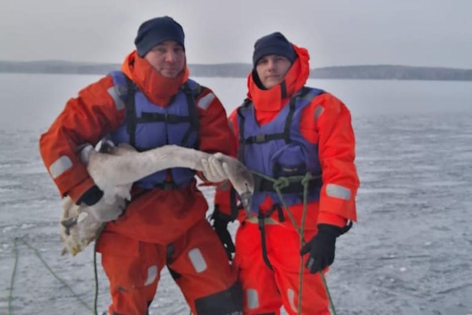 Лебедь сильно ослаб, но главное - выжил. Фото: поисково-спасательная служба Челябинской области.