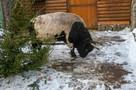 В гостях у символа 2021 года: Уникальный бык Мааны живет в Ленинградском зоопарке