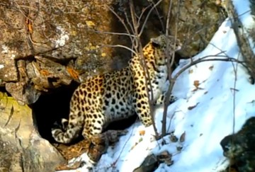 Неуклюжий амурский тигр проиграл в ловкости дальневосточному леопарду