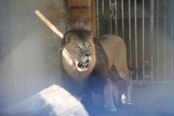 «Природа настолько очистилась»: в Дагестане по городу вместе со сворой собак бегает лев