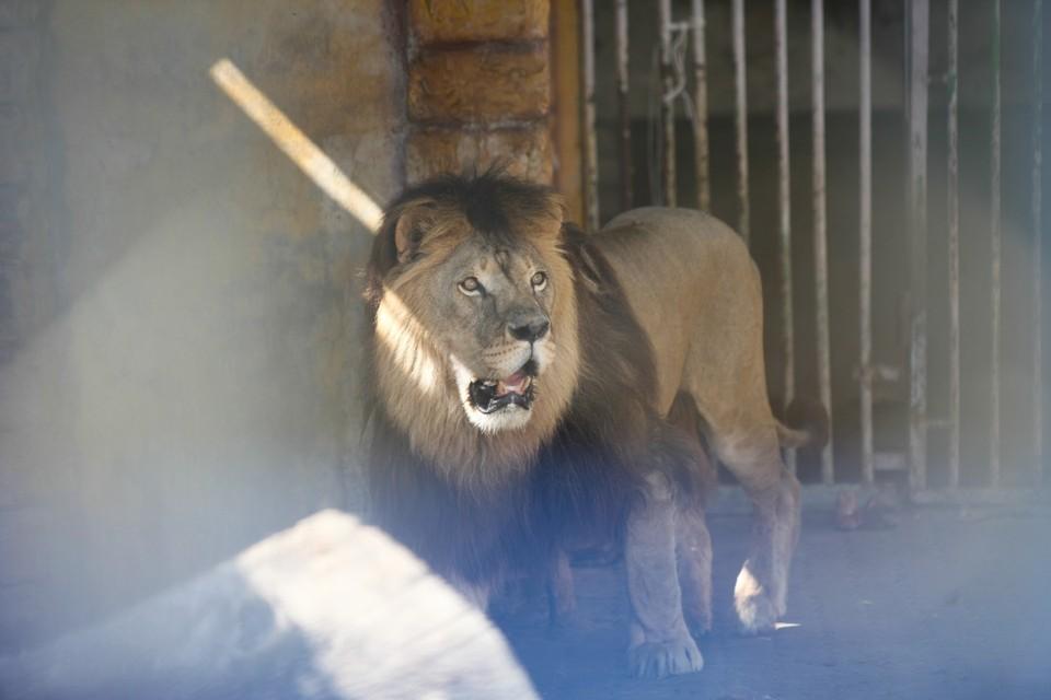Лев прибился к стае собак в дагестанском Хасавюрте