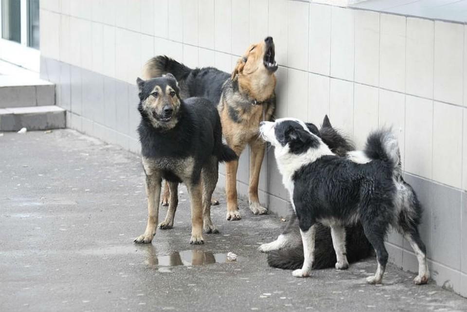 Бродячие собаки напали на 9-летнюю девочку в Улан-Удэ