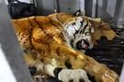 Признаки беременности нашли у умирающей возле дороги истощенной тигрицы в Хабаровском крае