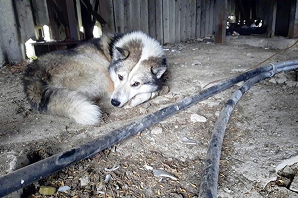 """Этот пес несколько дней не уходил из заброшенной зерносушилки, где попал в беду его друг, пытаясь воем привлечь людей. Фото: """"Радзіма""""."""