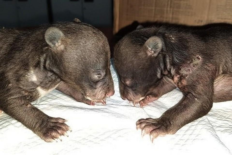 Сейчас медвежата под чутким присмотром специалистов. Фото: instagram/siberiantiger_center.