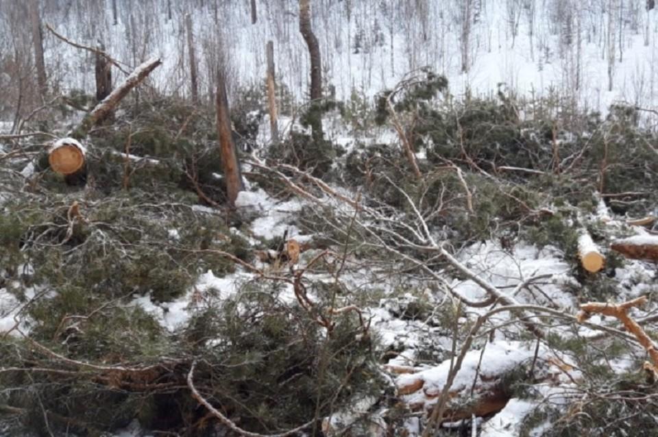 Черных лесорубов, спиливших деревьев на полмиллиона рублей, поймали в Братском районе