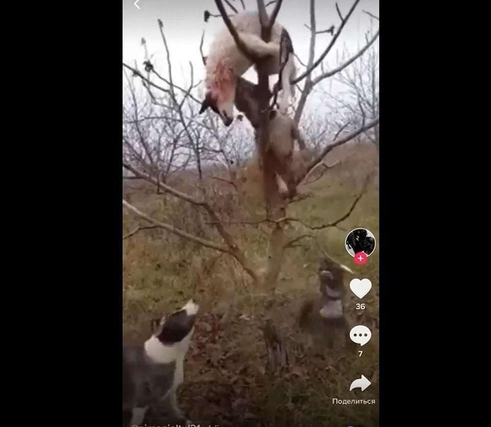 Ради видео живодеры повесили собаку на дерево и натравили своих псов. Фото: скриншот видео