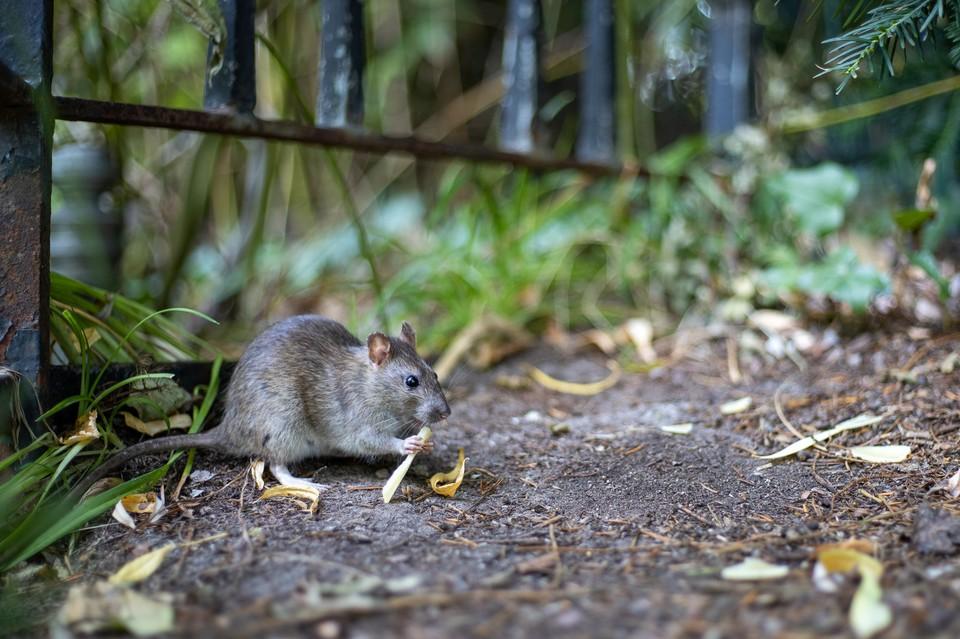 Штат в Австралии «атаковала» полчища мышей