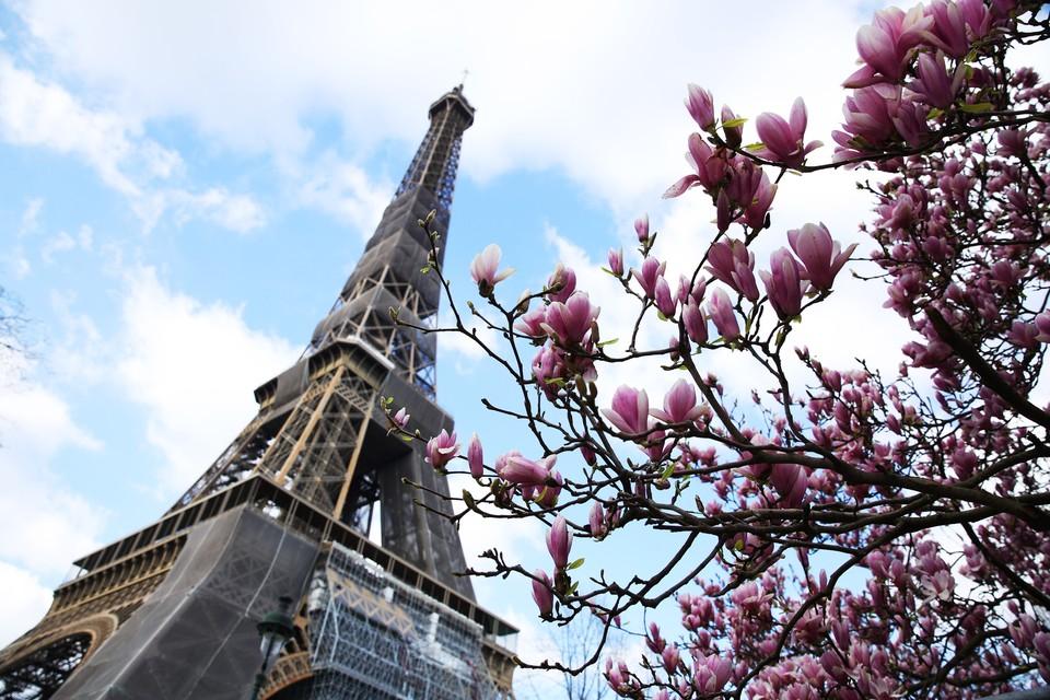Цветущая магнолия возле главного символа Парижа, март 2021 г.