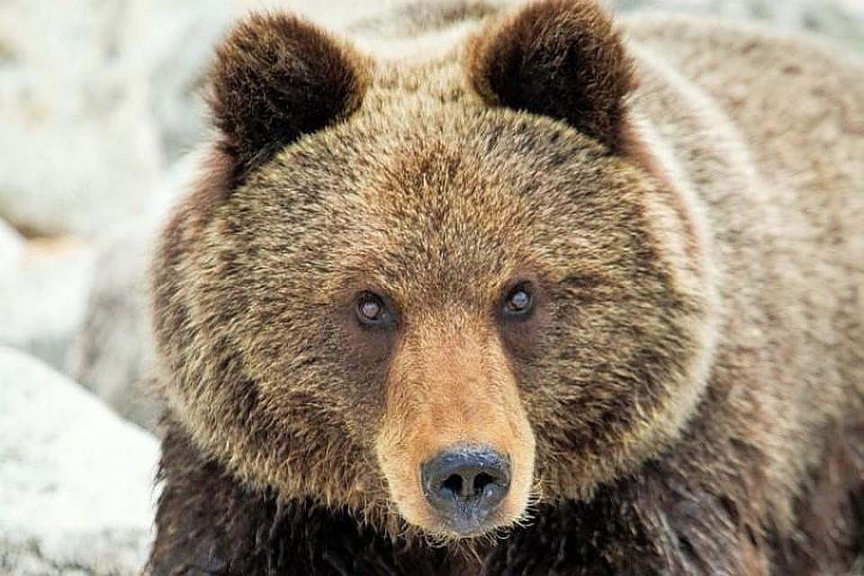 В Кузбассе открылся сезон охоты на медведей