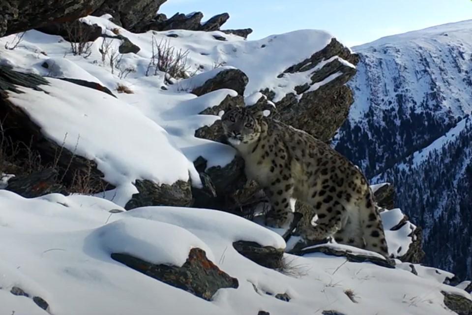 Снежный барс в горах Алтая (Фото: скриншот записи видеоловушки)