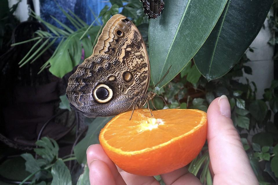 Бабочки обязательно сядут на свежий срез с соком