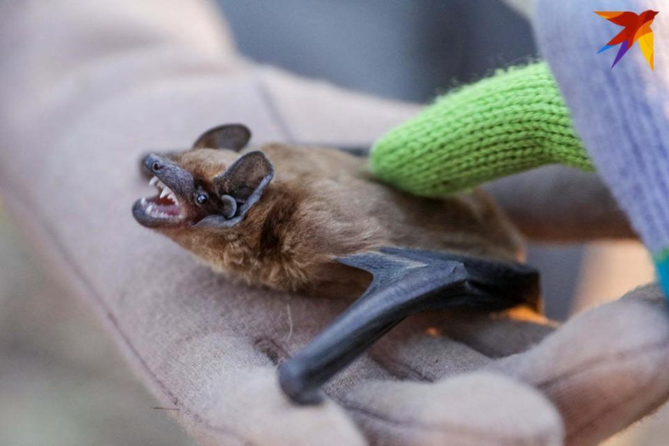 После зимы в реабилитационном центре около 40 летучих мышей полетели в дикую природу