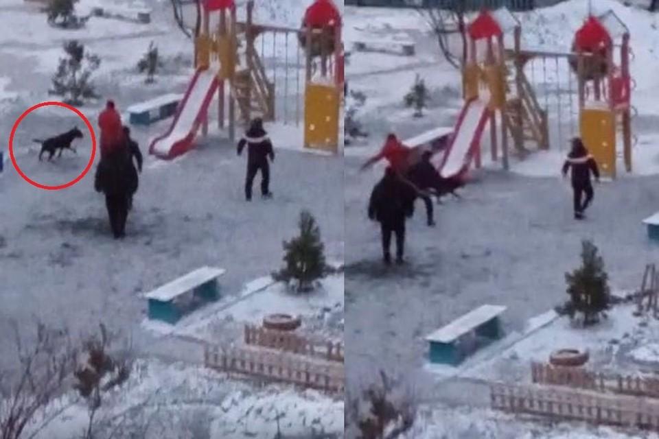 В Калининском районе, питбуль набросился на собаку. Фото: Кадр из видео