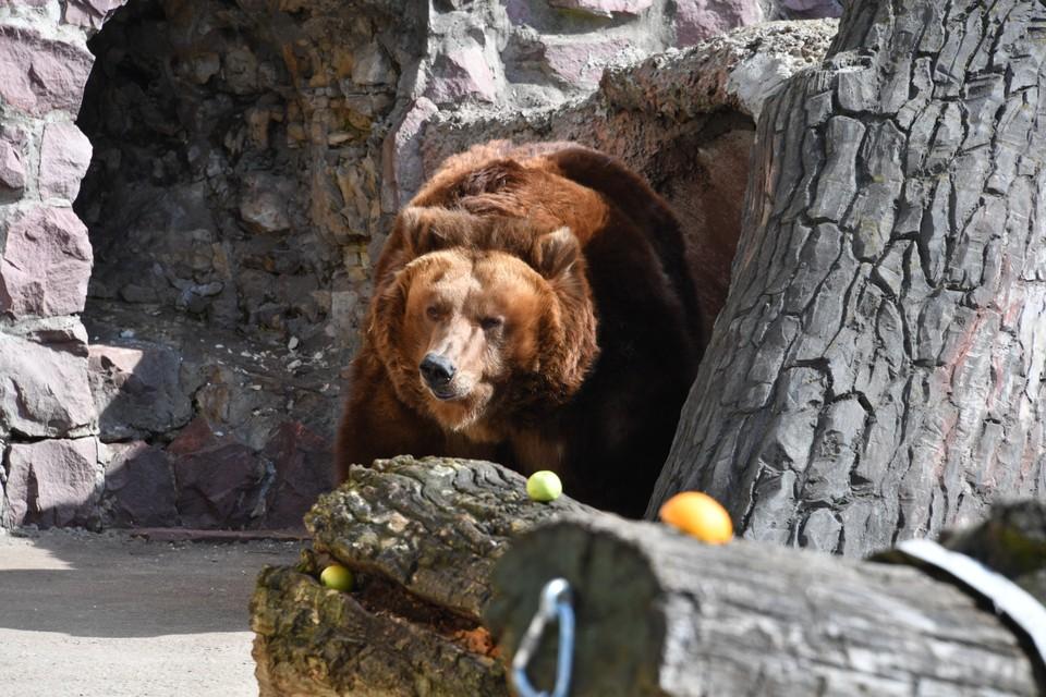 В Кузбассе жителей города предупредили о появлении голодных медведей.