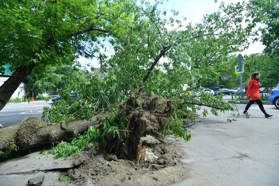 При ветре 25 м/c могут вырываться деревья с корнем