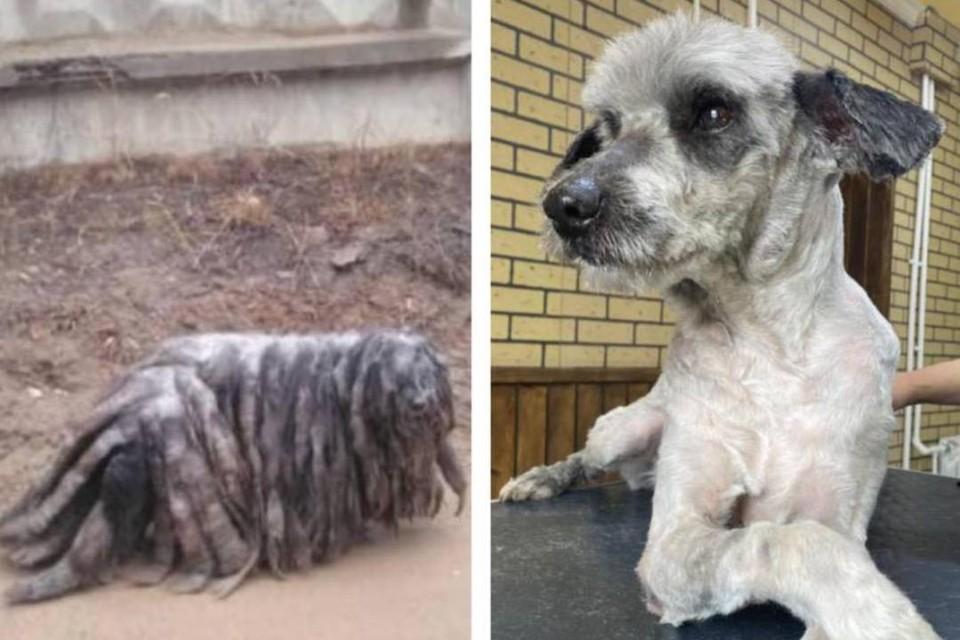 Собачье «До/после»: обросший пес из Бурятии оказался «девочкой»