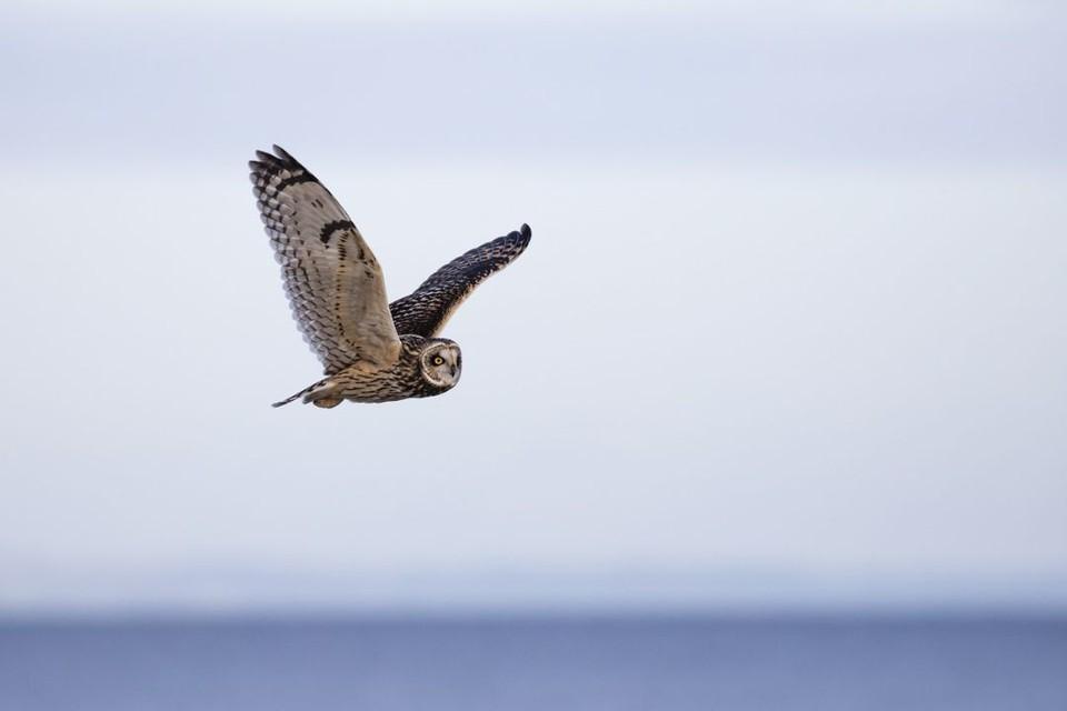 Большую часть жизни болотная сова проводит в одиночестве. Фото: pixabay.com