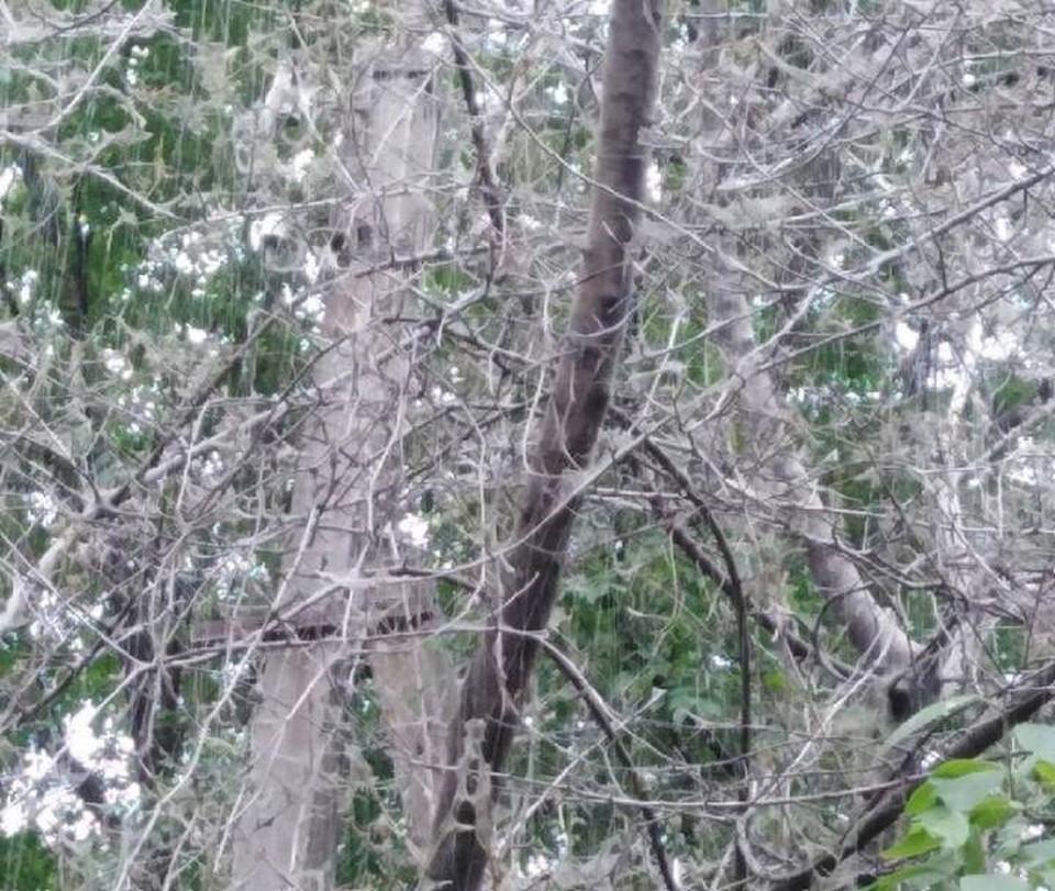 """Дерево, облепленное гусеницами, растет на Западном. Фото: паблик """"Это Ростов!"""""""