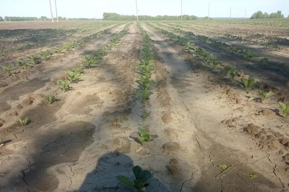 В брянском Погаре овощеводы посадят 28 гектаров капусты.