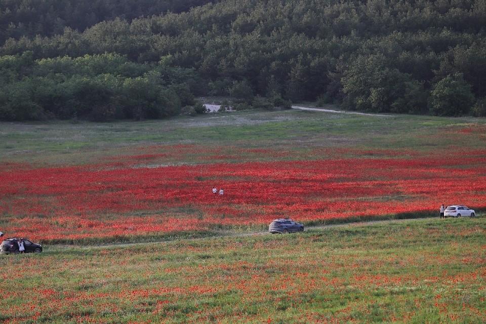 В этом году маки начали цвести в конце мая. Фото: Крым и Севастополь в моем сердце / ВК