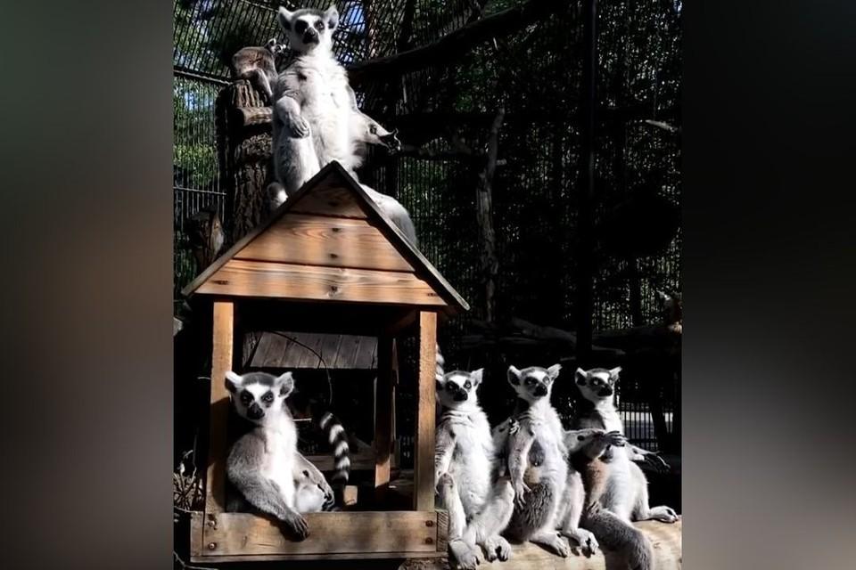 Лемуры из новосибирского зоопарка позабавили новосибирцев. Фото: стоп-кадр
